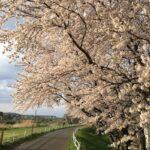 外出スケジュールと桜